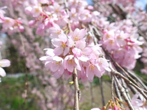 法善寺 しだれ桜 開花状況
