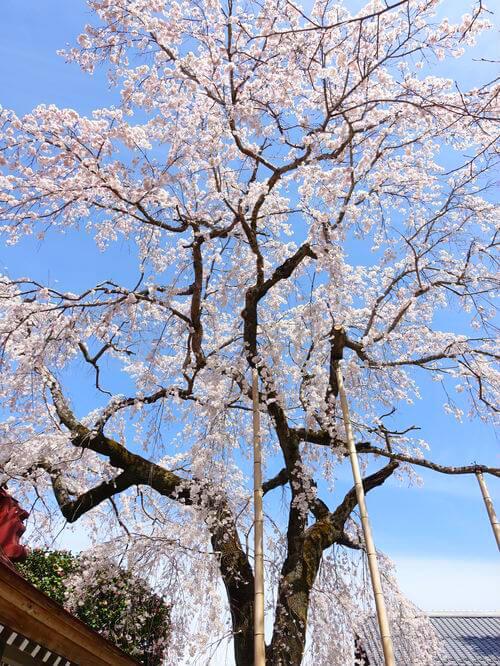 法善寺 桜