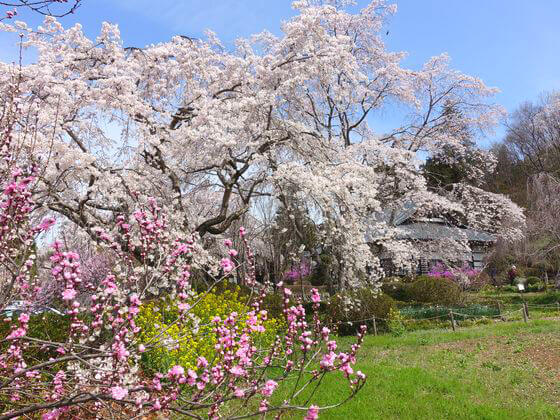 法善寺 しだれ桜