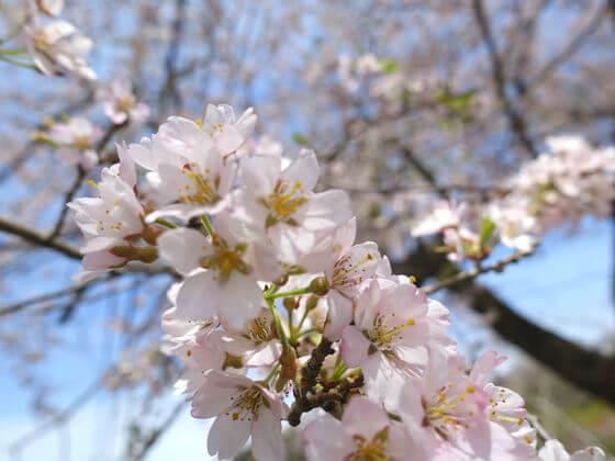 大手の桜 開花状況
