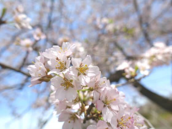 長瀞 大手の桜