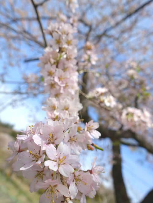 秩父 大手の桜