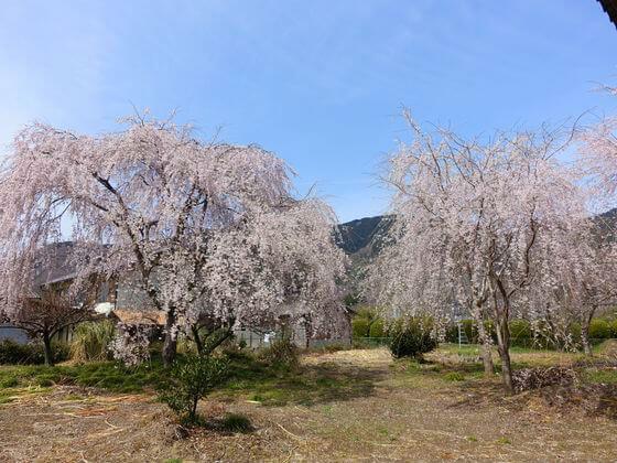 道光寺 枝垂れ桜