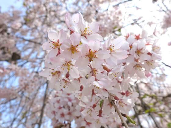 道光寺 しだれ桜