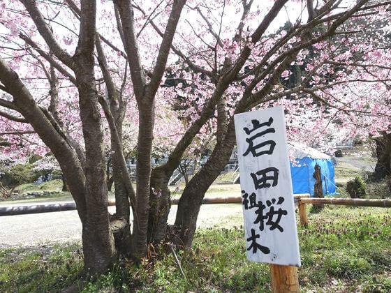 岩田桜 開花状況