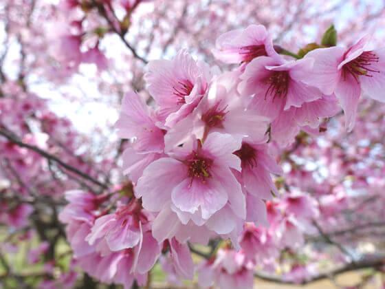 秩父 岩田桜