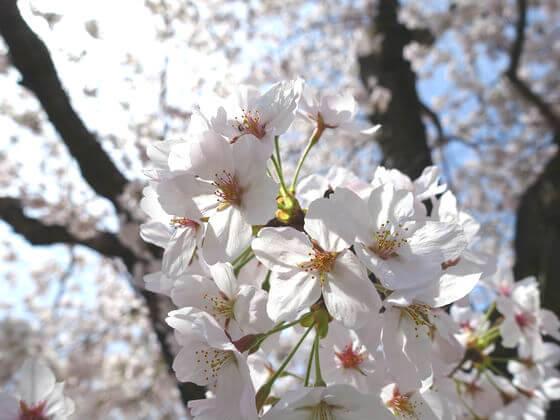 北桜通り 開花状況
