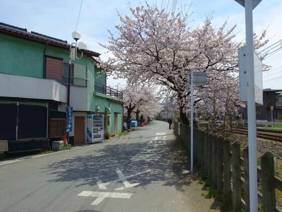南桜通り 桜