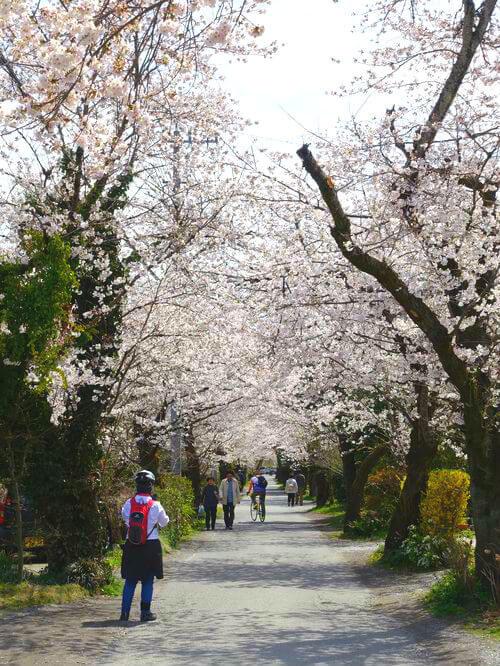 南桜通り 桜並木