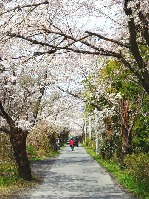 南桜通り 長瀞 桜