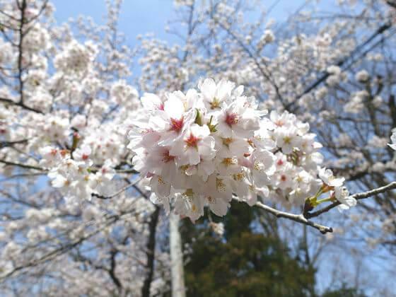 南桜通り 開花状況
