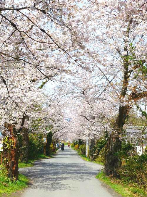 長瀞 桜並木