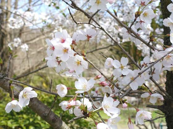 秩父 桜並木