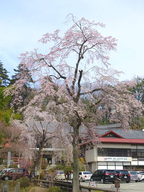 宝登山神社 しだれ桜