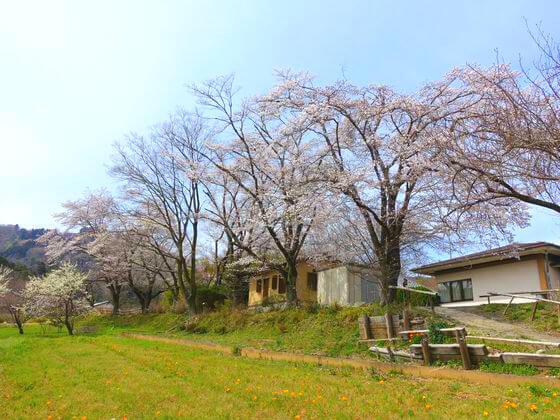 長瀞 野土山 桜