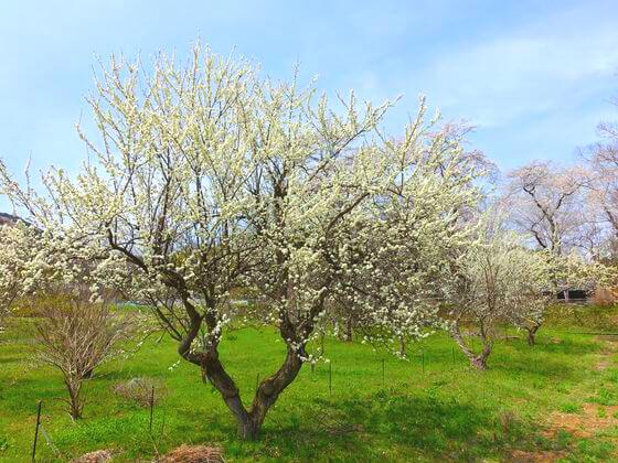 長瀞 桜の里