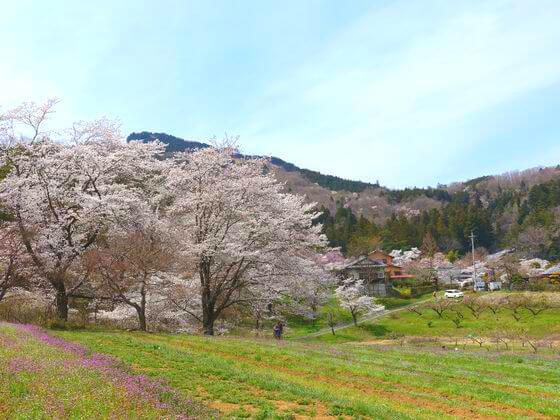 秩父 桜の里