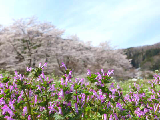 秩父 野土山 桜