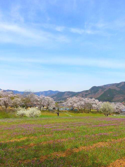 野土山 桜
