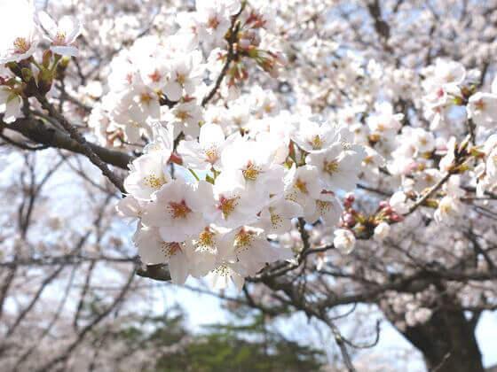 野土山 桜 開花状況