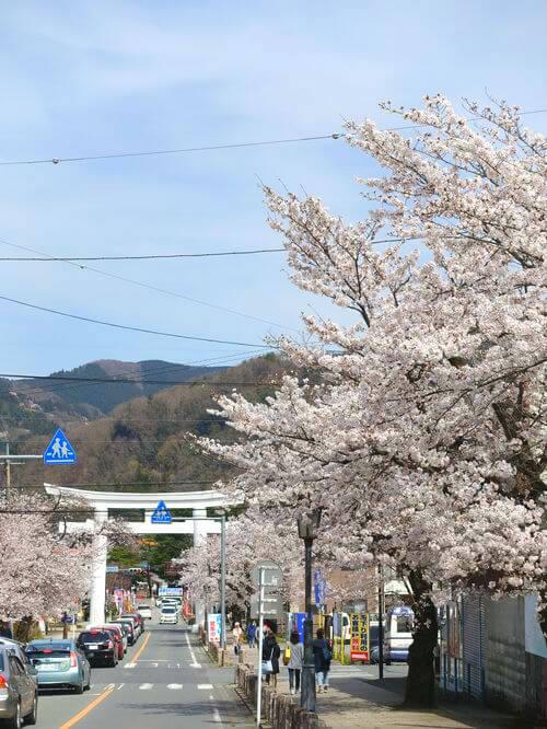 長瀞 宝登山 桜