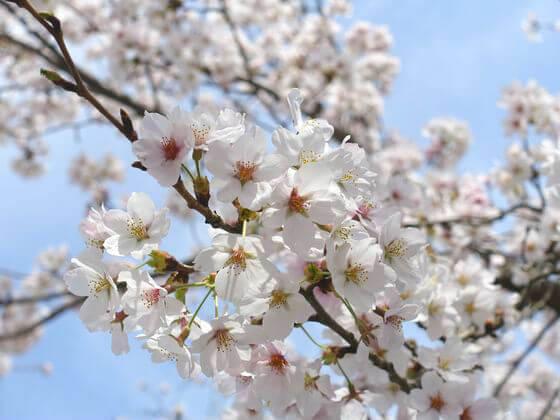 宝登山神社 桜 開花状況