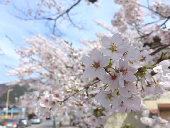宝登山 桜