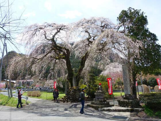 よみがえりの一本桜