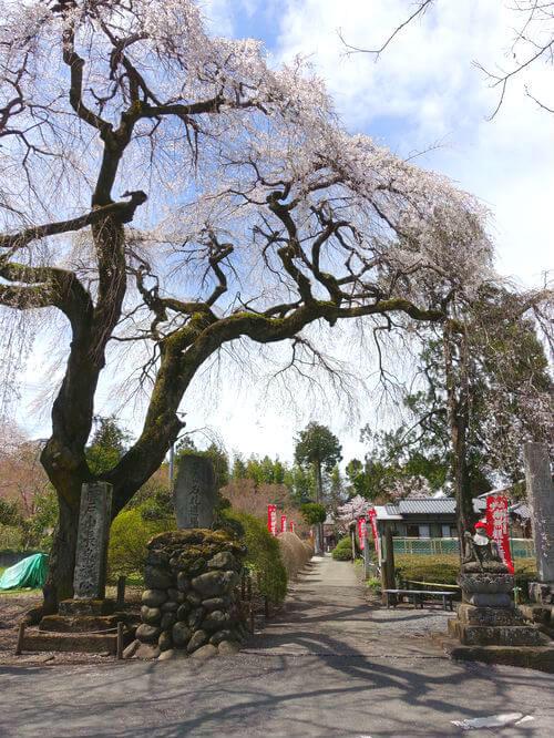 長泉院 よみがえりの桜