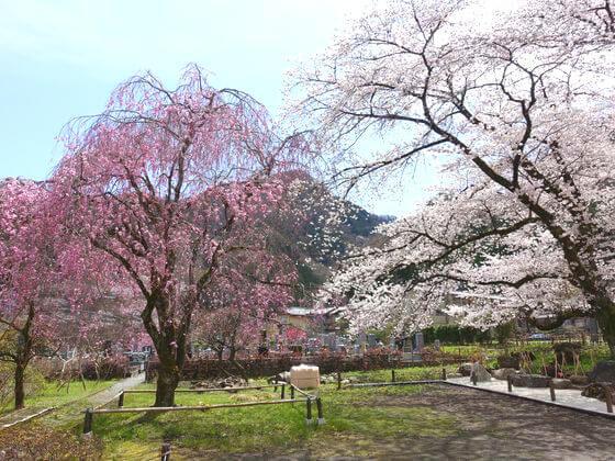 長泉院 桜 見頃