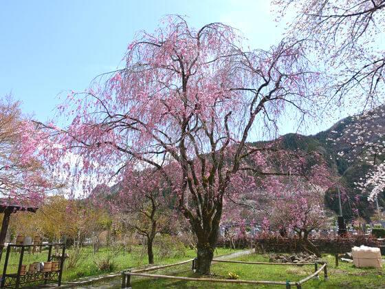 長泉院 しだれ桜