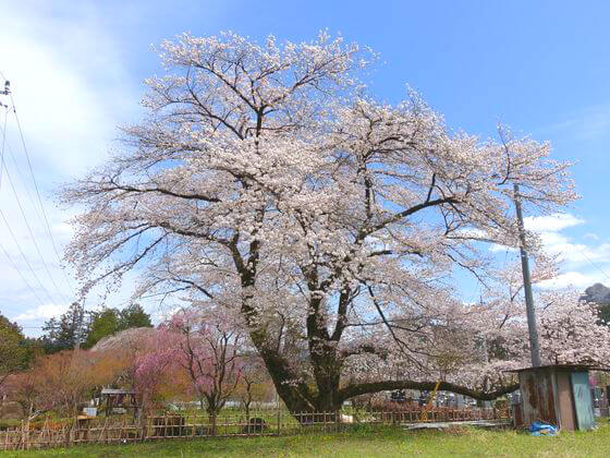 長泉院 桜