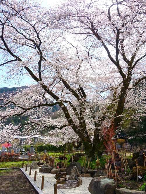 秩父 長泉院 桜