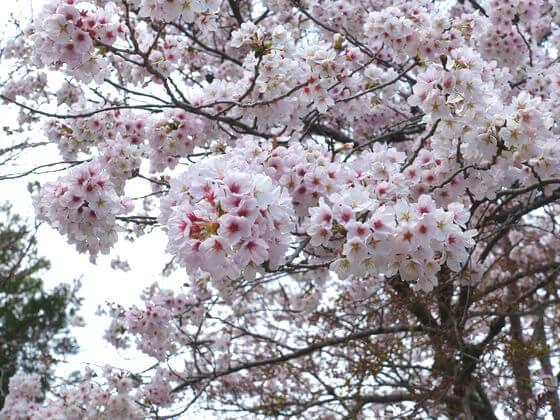 長泉院 桜 開花状況