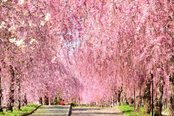 しだれ桜 花言葉