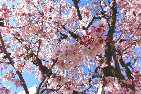 あたみ桜 開花状況