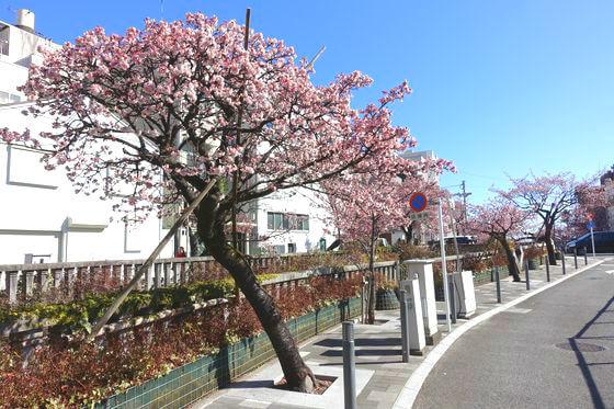 あたみ桜 見頃