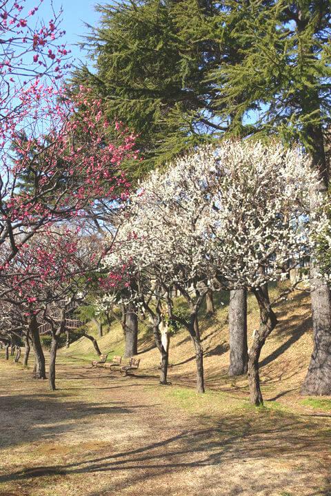 保土ケ谷公園 梅林