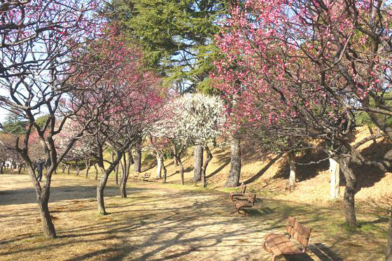 保土ヶ谷公園 梅