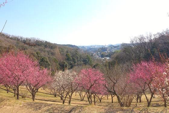 金沢自然公園 梅