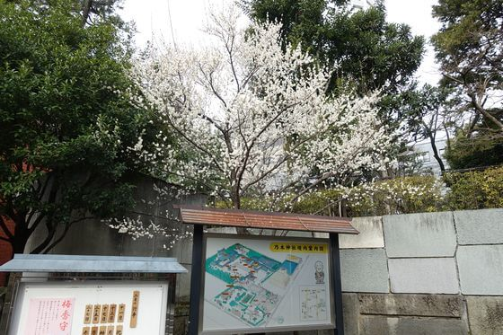 梅 乃木神社