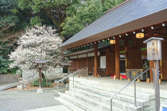 白梅 乃木神社