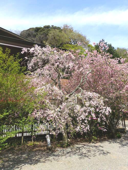 妙本寺 鎌倉 しだれ桜