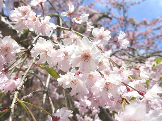 妙本寺 しだれ桜