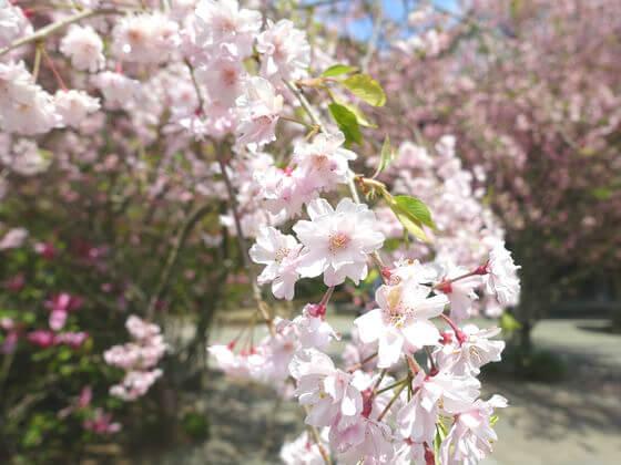 鎌倉 妙本寺 しだれ桜