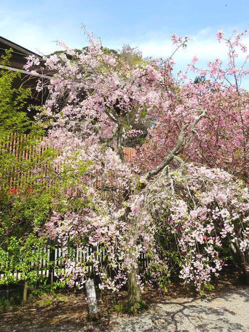 妙本寺 しだれ桜 見頃