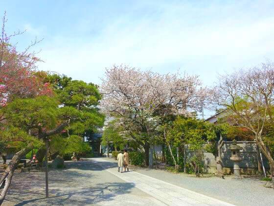 本覚寺 鎌倉 ソメイヨシノ