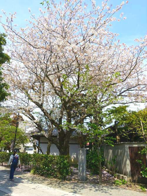鎌倉 本覚寺 ソメイヨシノ
