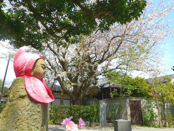 本覚寺 ソメイヨシノ