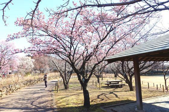 都市農業公園 寒桜